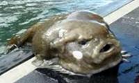 Hitparáda nejošklivějších ryb