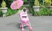 Ein Mops und sein Puppenwagen