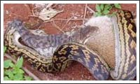 schlange gegen känguruh