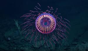 Leuchtende Tiefsee-Qualle