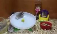Zwei Hamster ein Laufrad