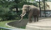 Elefant wirft mit Kot umsich