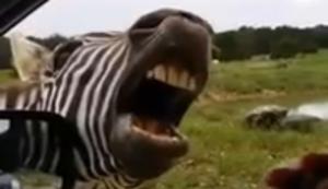 Das singende Zebra