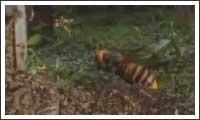 hornissen vs bienen
