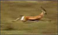 Dumme Antilope
