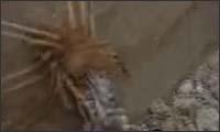 kamel spinne gegen frosch