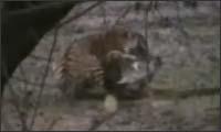tiger vs alligator