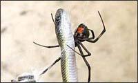spinne gegen schlange