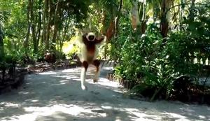 Fr�hlicher Lemur