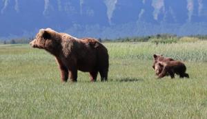 Grizzly-Mama prüft die Umgebung