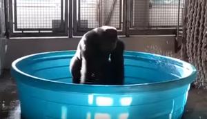 Gorilla tanzt zu Maniac im Pool