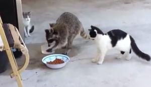 Waschbär steht auf Katzenfutter