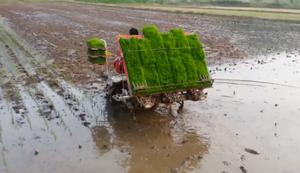 Reis einpflanzen