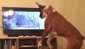 Buzz der Boxer liebt den Werbespot