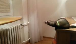 Fleines Frettchen gro�er Sprung