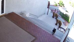 Franz�sische Bulldogge vs B�ren