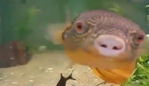 Kugelfisch liebt Muscheln