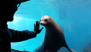 Seelöwe hinter Glas