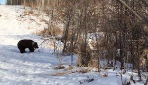Verspielter Bär im Schnee