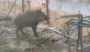 Wildes Wildschwein