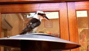 Ruf eines Kookaburra