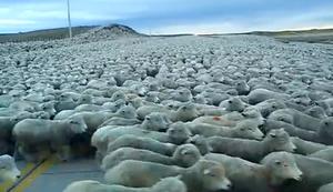 Schafherde auf der Strasse