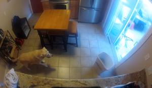 Labrador bedient sich am K�hlschrank