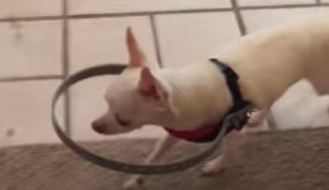 Blinder Hund mit Hilfsmittel