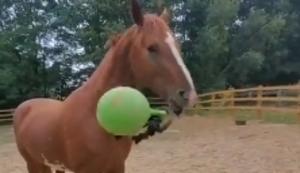 Pferd spielt mit dem Ball