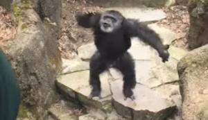 Schimpanse begrüsst Oma im Zoo