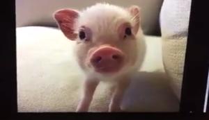 Das Schweinchen im Hintergrund