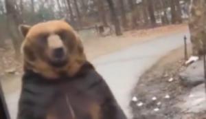 Bär spaziert vorbei
