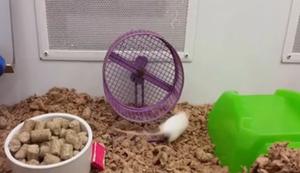 Die Ratte und das Laufrad