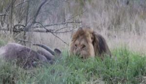 Löwe beim Fressen stören