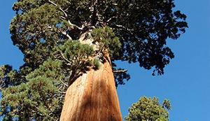 Mammutbaum für den Garten