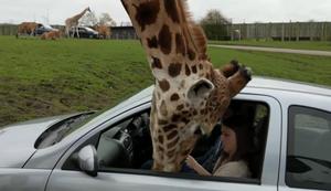 Wenn die Giraffe ins Auto guckt