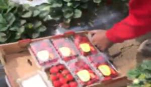 Highspeed-Erdbeer-Ernte