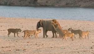 Junger Elefant gegen eine Horde L�wen