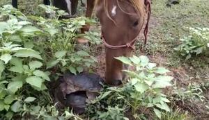 Pferd begegnet zwei Schildkr�ten