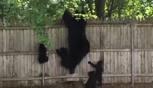 Bärenfamilie klettert über einen Zaun