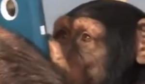 Ein Schimpanse unterwegs auf Instagram