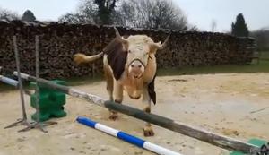 Ein Stier im falschen Körper