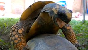 Wenn die Schildkröte kommt