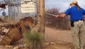 Schreckmoment am Löwenkäfig