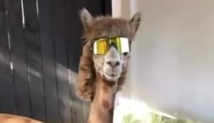 Das coolste Alpaka