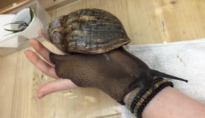 Riesenschecke auf der Hand