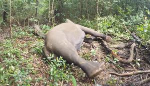 Elefant erwacht aus Narkose