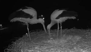 Storchenpaar feiert das Ei