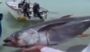 Einen Thunfisch verfüttern